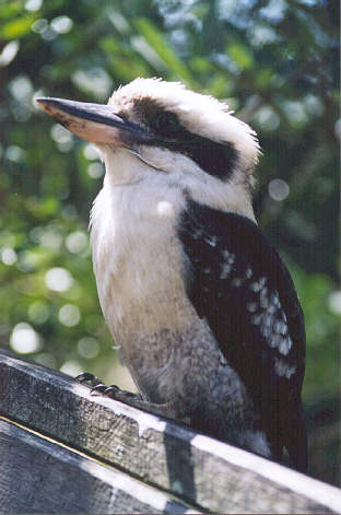 Kookaburra song  Wikipedia